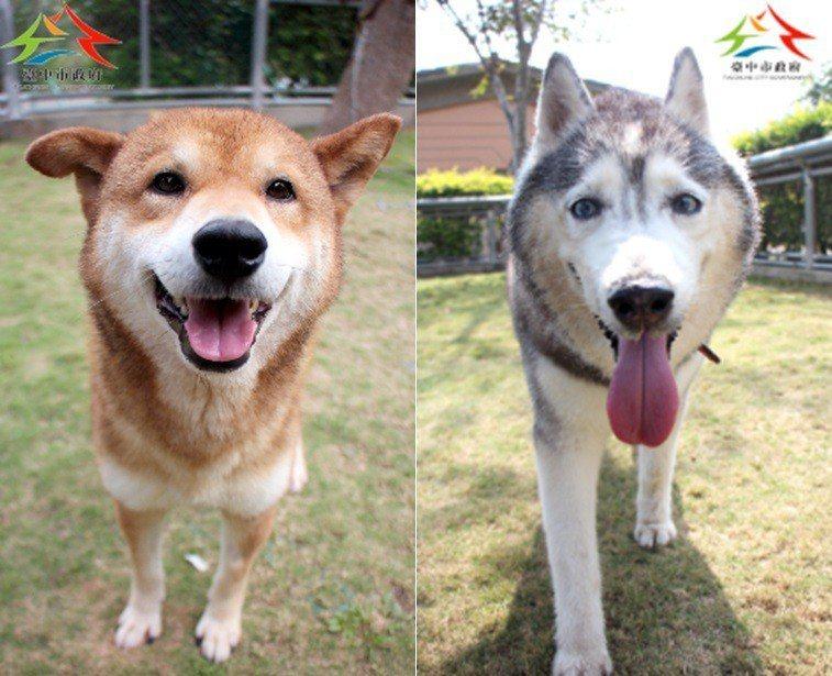台灣氣候溼熱,柴犬(左)與哈士奇(右)較難適應。