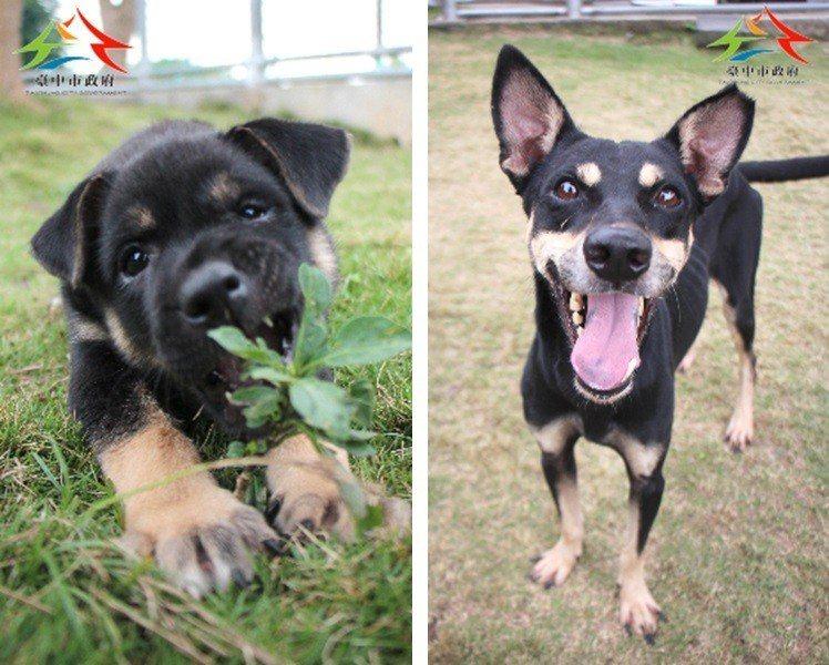 成犬(右)從個性、健康等各方面來說,都較幼犬(左)來得穩定。