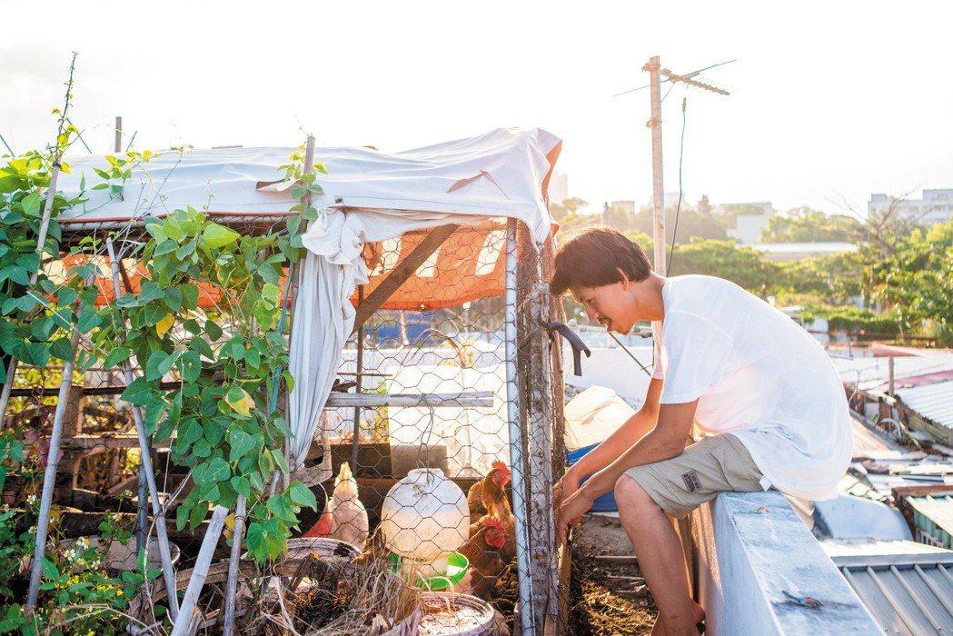 在屋頂養雞種菜,簡子倫希望用簡單的方式自己生產食物。攝影/林靜怡