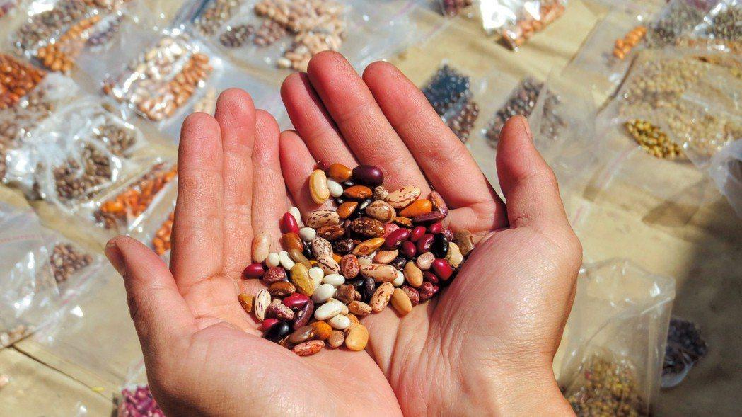 印度北部山區的豐富豆種。圖/簡子倫提供
