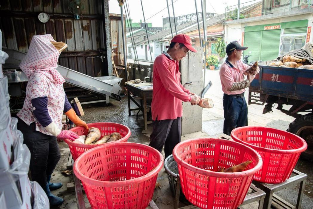 斗南鎮農會的竹筍裝箱北上前,需先在集貨場進行分級。攝影/ 謝佩穎