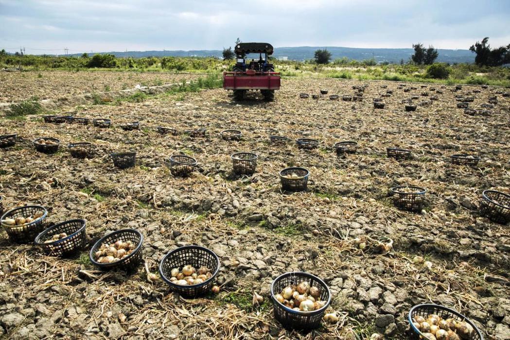 洋蔥也是敏感性作物,以往,曾有好幾年發生過產銷失衡的危機。攝影/ 謝佩穎
