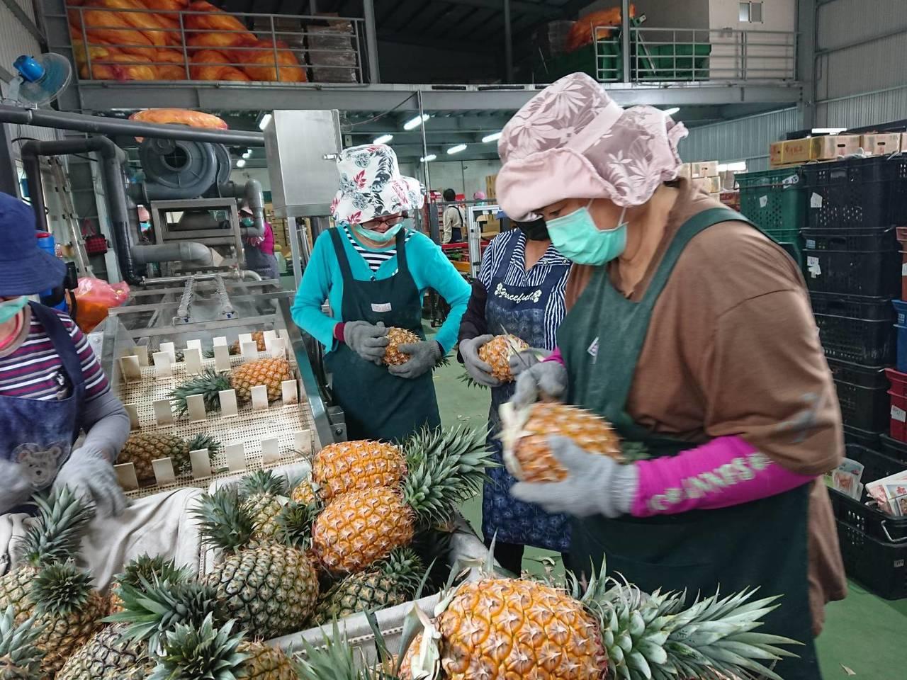 高雄市要出口鳳梨到安徽省合肥年貨展。圖/高雄市農業局提供