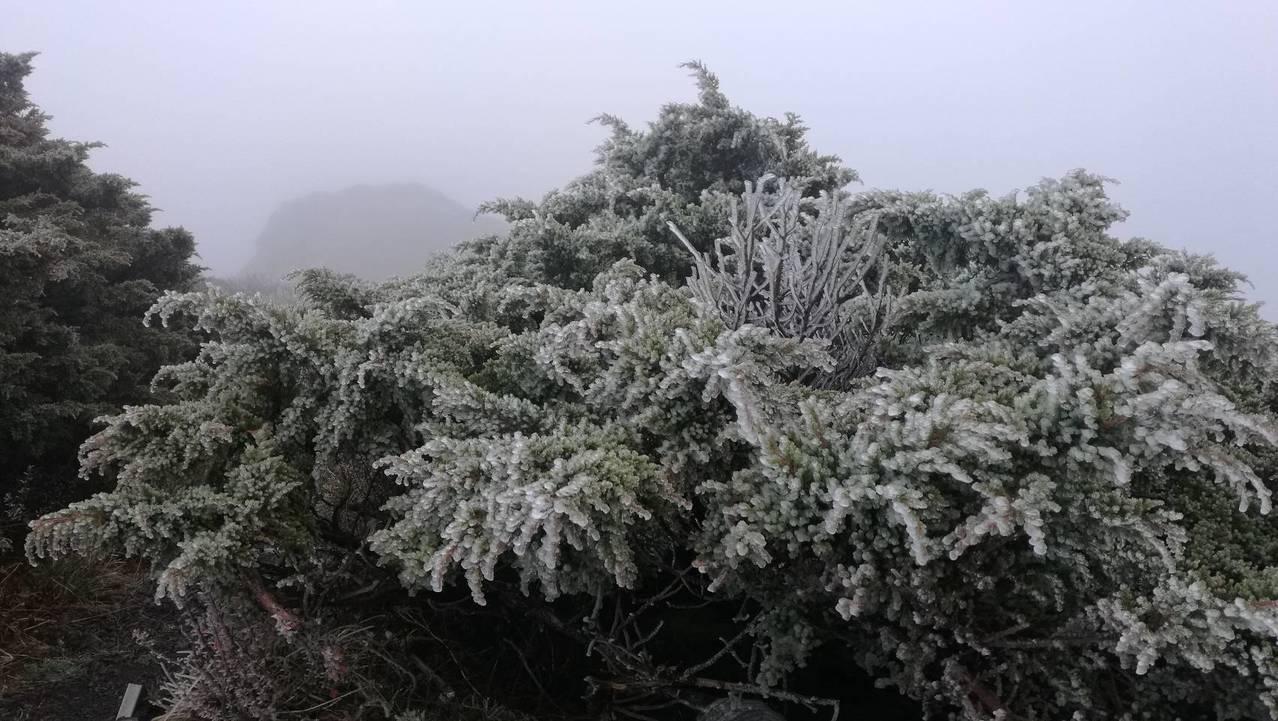 濕度差了點,玉山沒有下雪,樹梢白茫茫的就是霧淞結冰。圖/玉管處提供