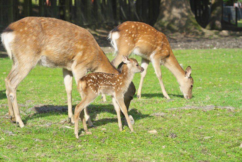 奈良公園擁有1,000頭以上的野生鹿。圖/樂天旅遊提供