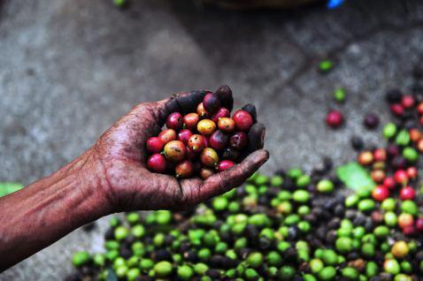 阿拉卡比咖啡囊括了全球商業咖啡市場的70%,其野生種也被列入有滅種威脅的名單。 ...