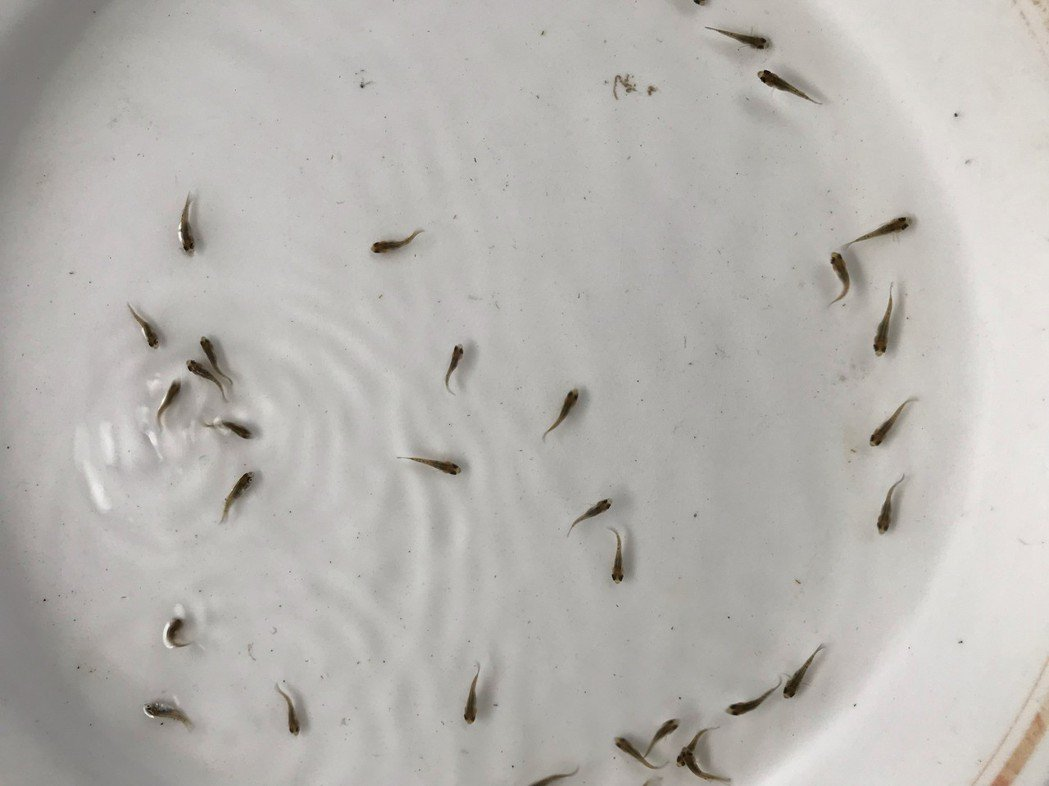 台商嗅出緬甸水產商機,簽約引進「聖雕」吳郭魚,搶攻緬甸水產市場。 圖/聖鯛水產科...