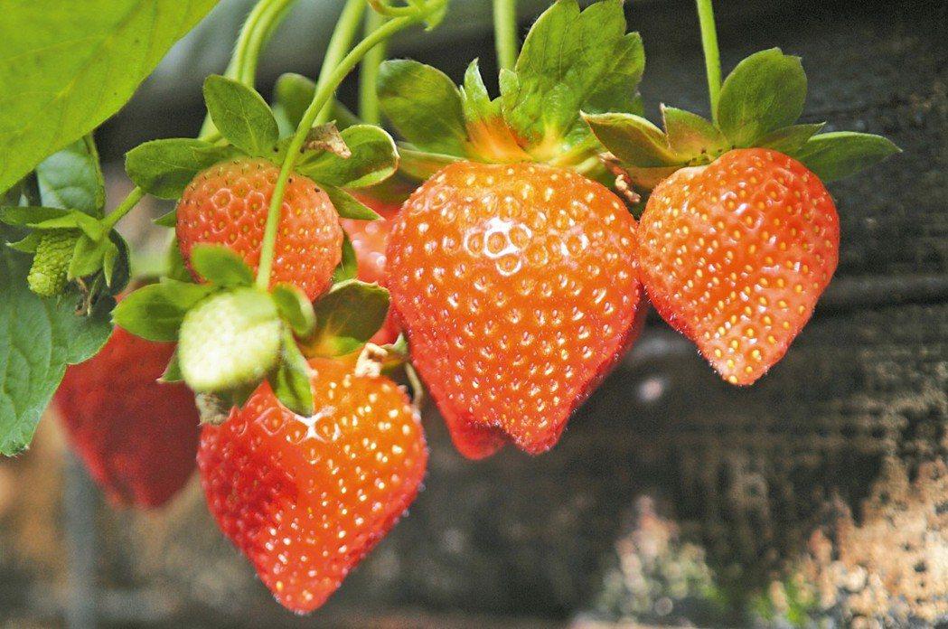 草莓是高草酸的水果,因此有尿道結石、腎臟結石病史者要少食用。報系資料庫