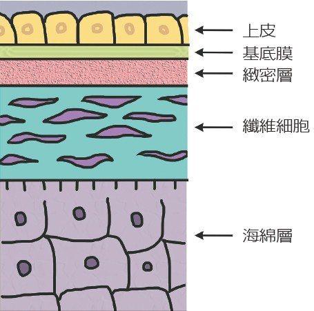 圖二:羊膜構造 圖/王孟祺提供