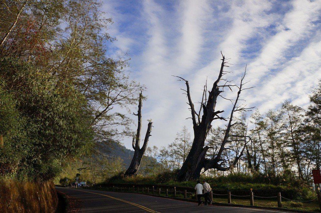 塔塔加夫妻樹原在中橫公路旁,堪稱是國內知名神木之一;右側夫樹已倒塌。 圖/玉管處...