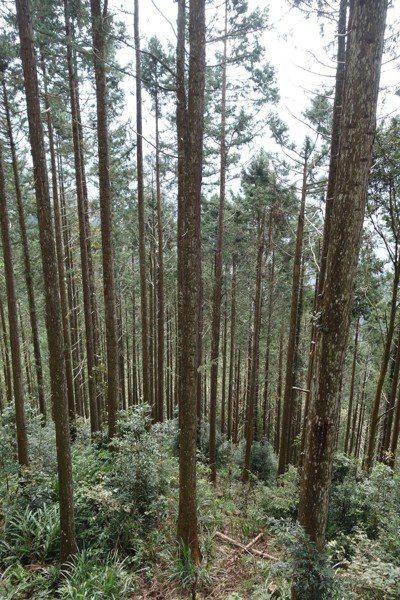 台灣杉是全球唯一以「台灣」當屬名的植物,因為這種樹高到彷彿可以跟月亮打招呼。 圖...