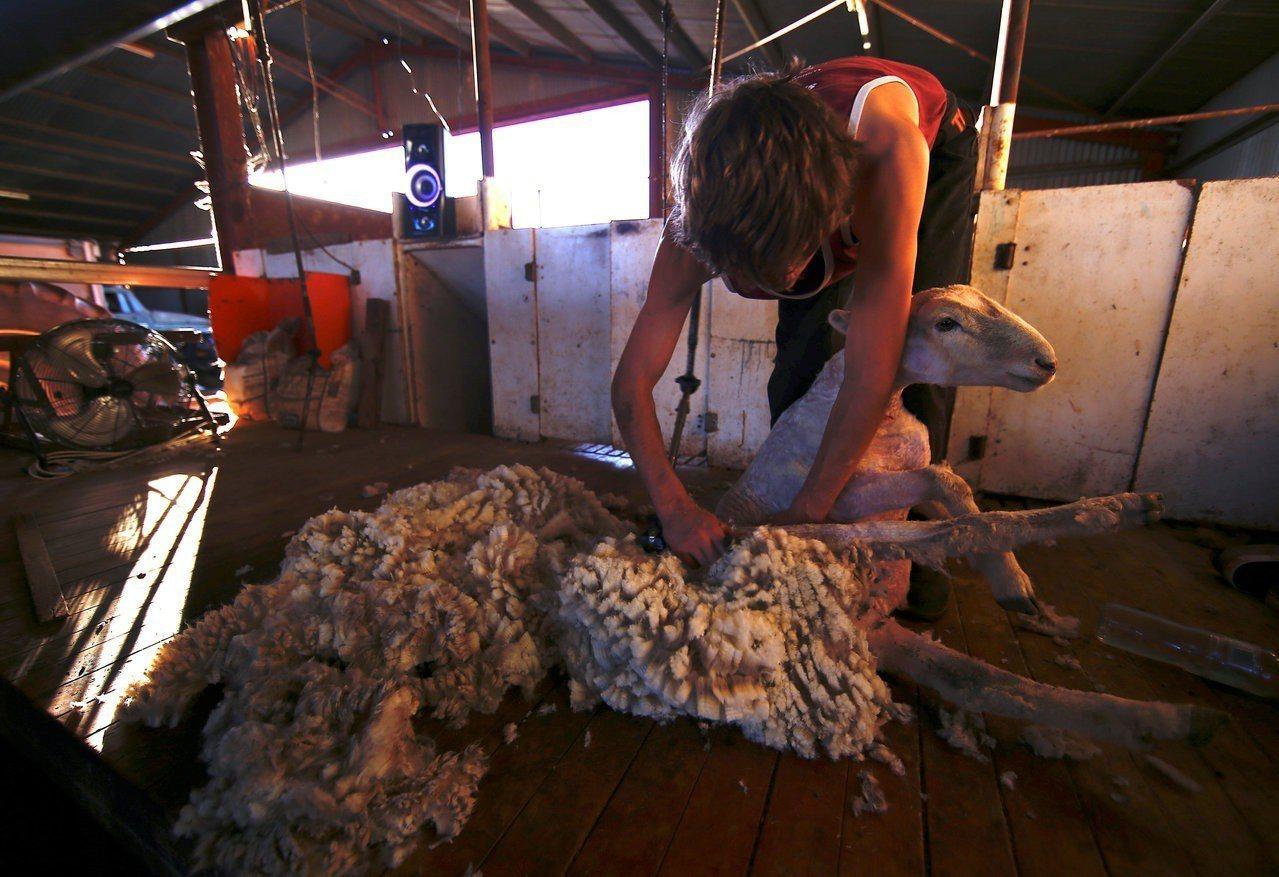 澳洲30億美元的羊毛業正面臨缺人剪羊毛的人力荒。路透