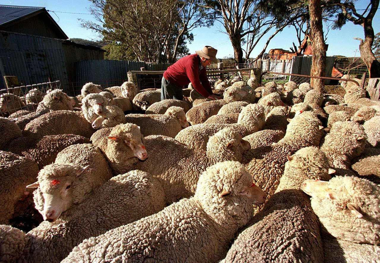 澳洲目前的羊隻數比30年前少一半以上,現在約有7300萬隻羊。路透