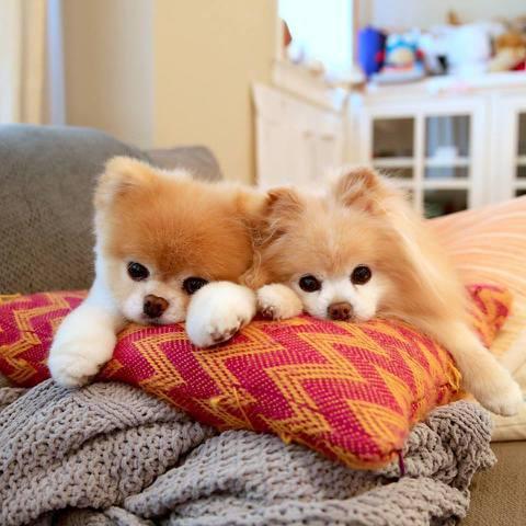 曾經被稱為「世界上最可愛的狗狗」博美狗Boo,驚傳因為心臟病去世,得年13歲。Boo有一雙水汪汪的超萌大眼、毛絨絨宛如玩偶般的外表,一舉一動迷倒不少萬千網友,光是主人為牠成立的臉書上按讚粉絲就有將近...