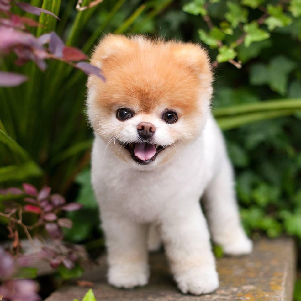 Boo曾被譽為「全世界最可愛的狗狗」。圖/摘自官方臉書