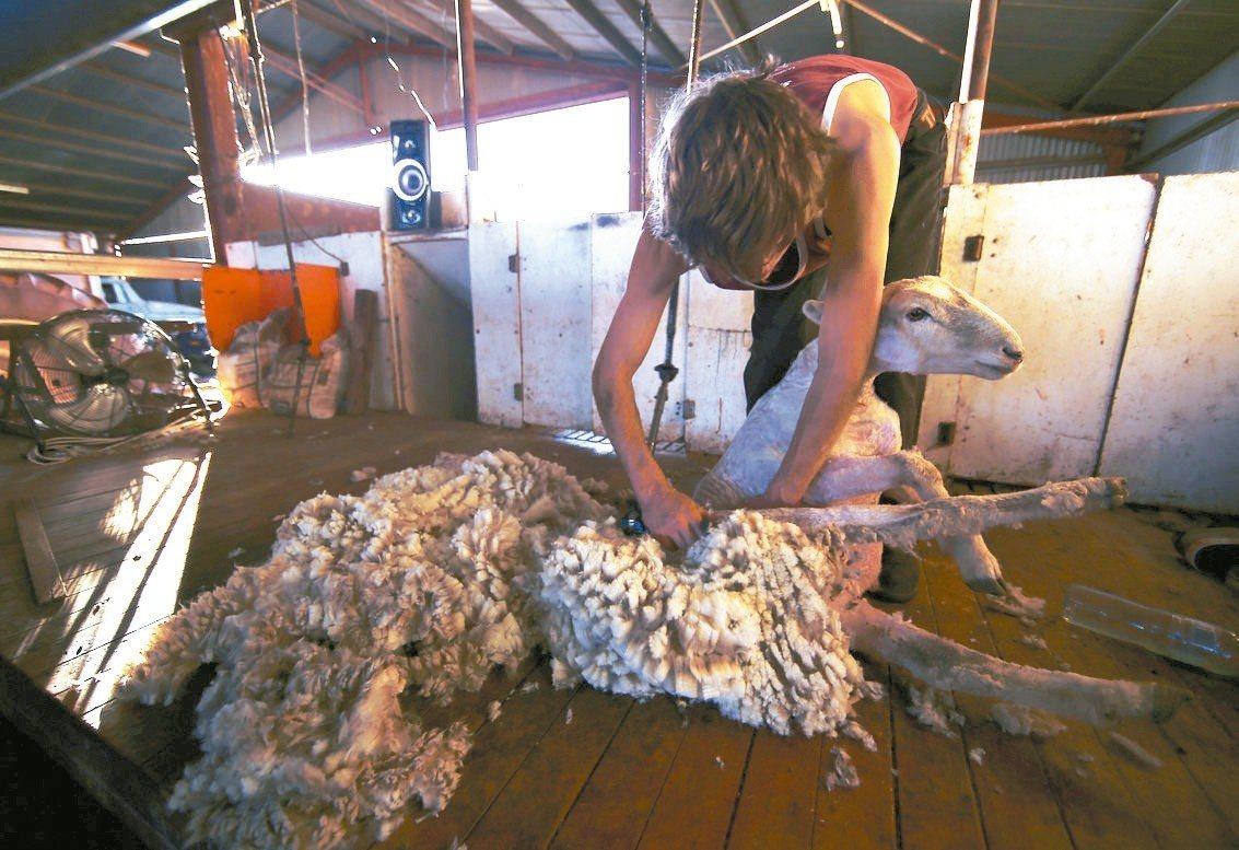 澳洲30億美元的羊毛業正面臨缺人剪羊毛的人力荒。 路透