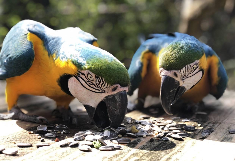 黃腹藍琉璃金剛鸚鵡因為是大型鸚鵡,需要寬廣的活動空間,嗓門大的他們更是不適合生活...