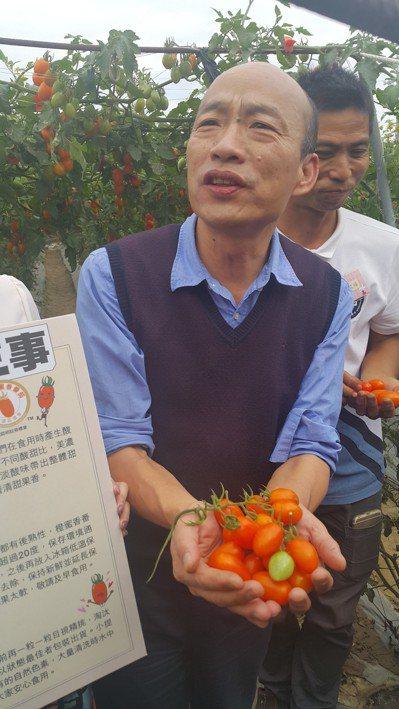 高雄市長韓國瑜下田採橙蜜香番茄,未來想開拓番茄外銷通路。 記者徐白櫻/攝影