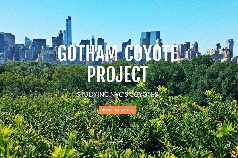 生物學家馬克・偉克爾負責的郊狼觀察與研究官網。 圖/取自Gotham Coyote官網