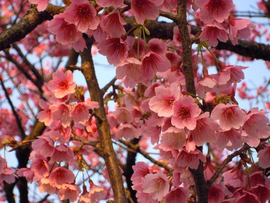 ▲農曆春節台灣賞櫻景點-陽明山。(圖/Pixabay)