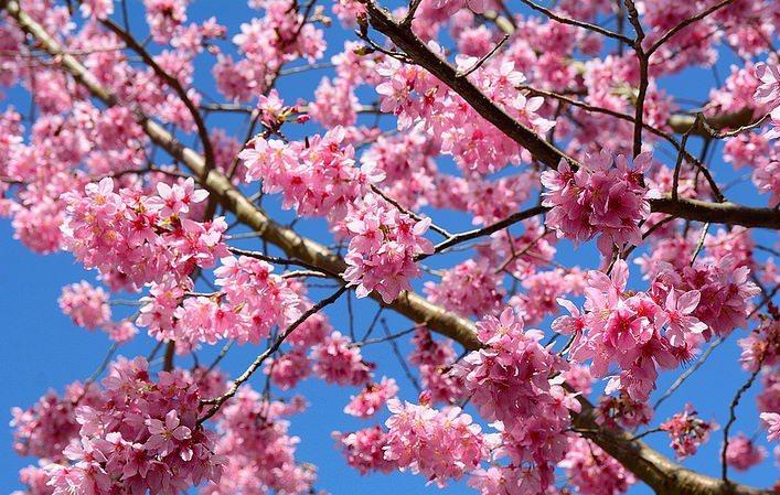▲武陵櫻花季-紅粉佳人。(圖/Tripbaa趣吧!亞洲自由行專家)