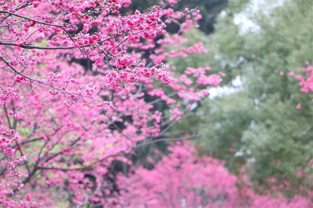 ▲武陵櫻花季-山櫻花。(圖/Tripbaa趣吧!亞洲自由行專家)