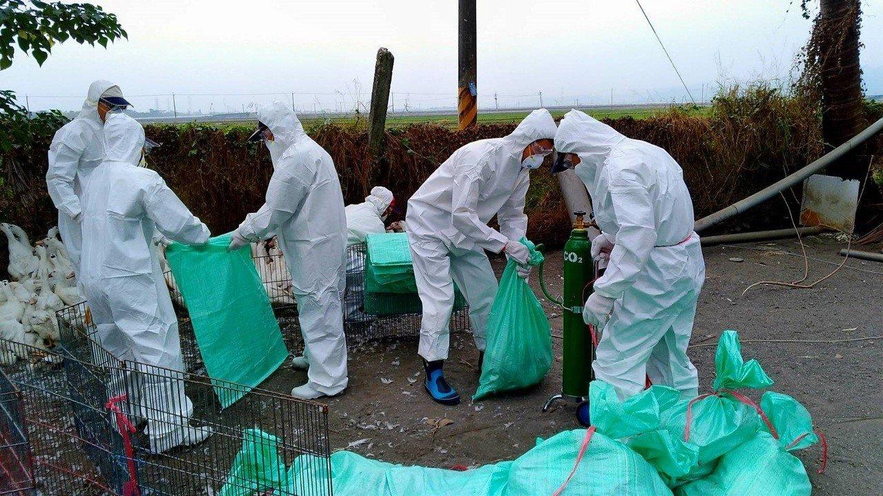 屏東縣里港鄉一家肉鴨場撲殺6510隻。圖/屏東縣政府提供