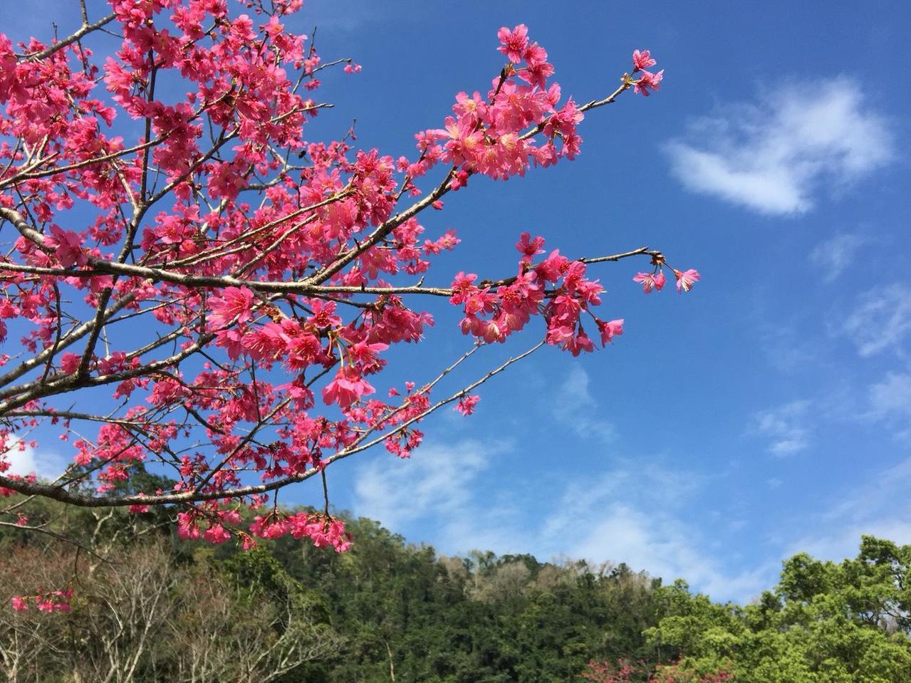 棲蘭櫻花大部分屬於山櫻花,間有幾株紅粉佳人。 圖/雄獅旅遊提供