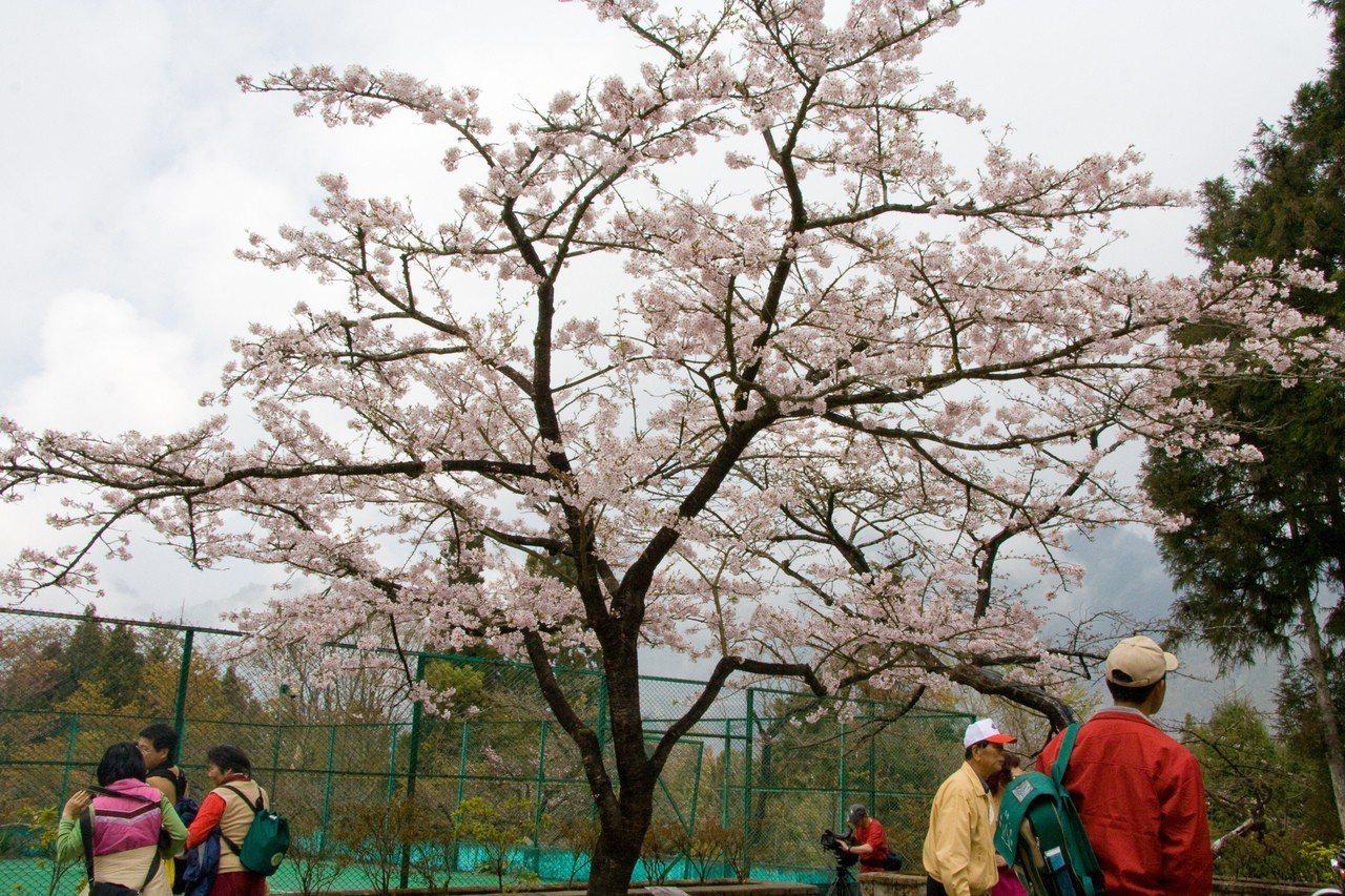 阿里山賞櫻吸引人潮。 圖/雄獅旅遊提供