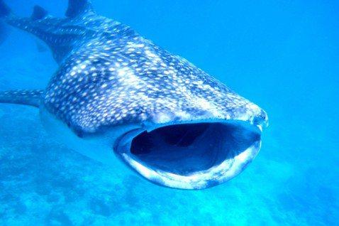 鯨鯊示意圖。圖/翻攝KAZ2.0 Flickr