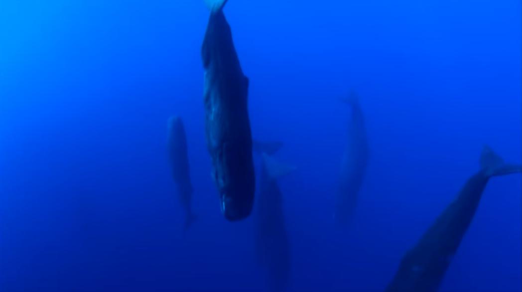 圖片來源/「Sperm Whales Sleeping - Discovery ...