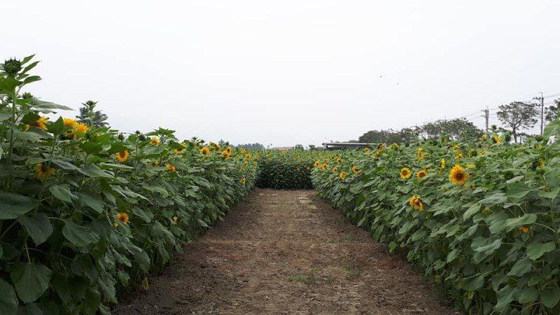(圖/FB@葵花迎賓滿杉林) ▲葵花迷宮的走道。