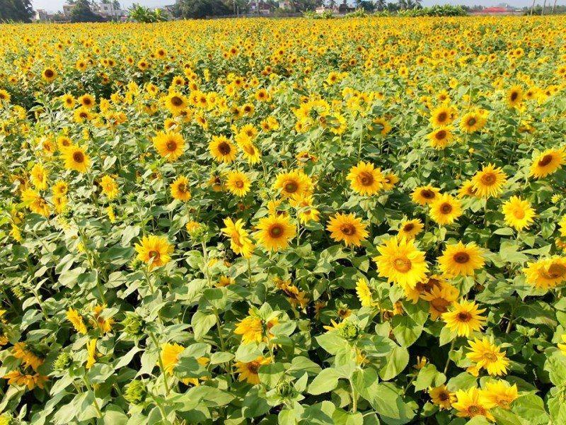 (圖/FB@一日遊景點-周傑倫) ▲向日葵花已開的很繁盛囉!