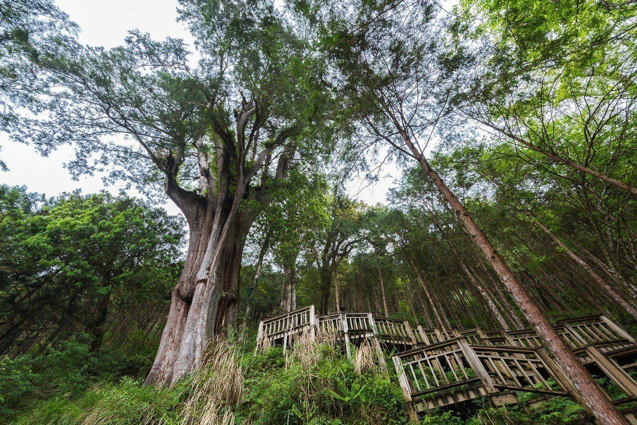 亞洲最大神木群聚-神木園。圖/力麗觀光提供