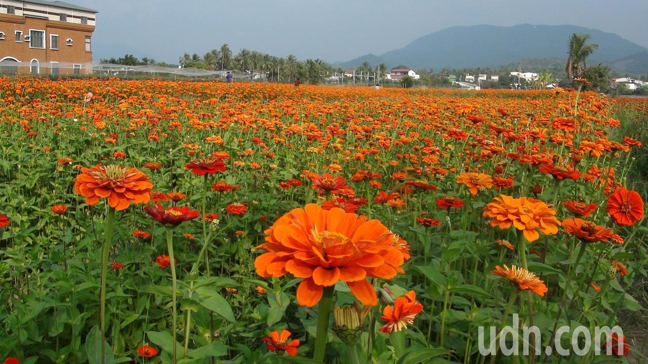 高雄杉林區五顏六色的百日草正盛放,美不勝收。記者王昭月/攝影