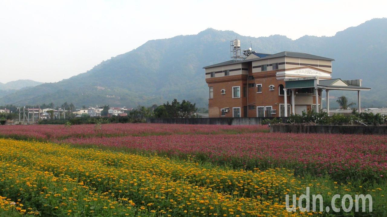 杉林區種植各種顏色的百日草,有如為大地上了顏彩。記者王昭月/攝影