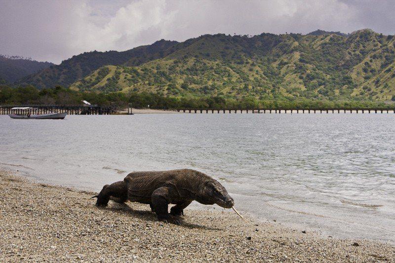 印尼決定將科莫多國家公園旅遊區關閉一年。 圖/擷自維基百科