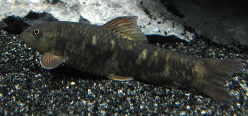 暱稱為魚醫生的「淡紅墨頭魚(Garra rufa)」。 圖片來源/PTT