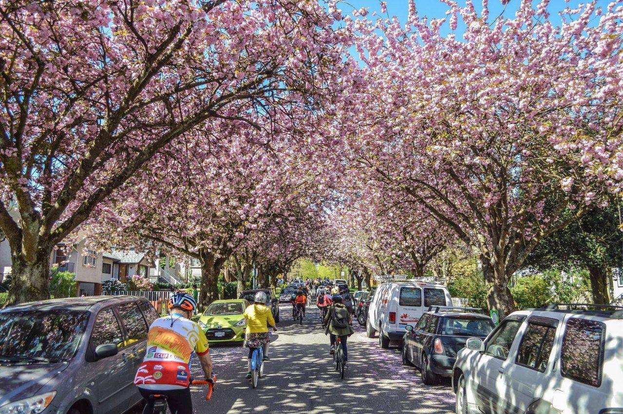 3月下旬至4月底,為溫哥華櫻花期。圖/加拿大航空提供