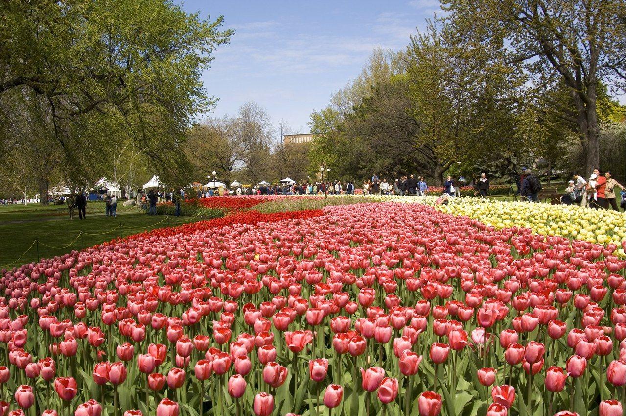 加拿大首都渥太華,春季時有盛大的鬱金香節。圖/加拿大航空提供