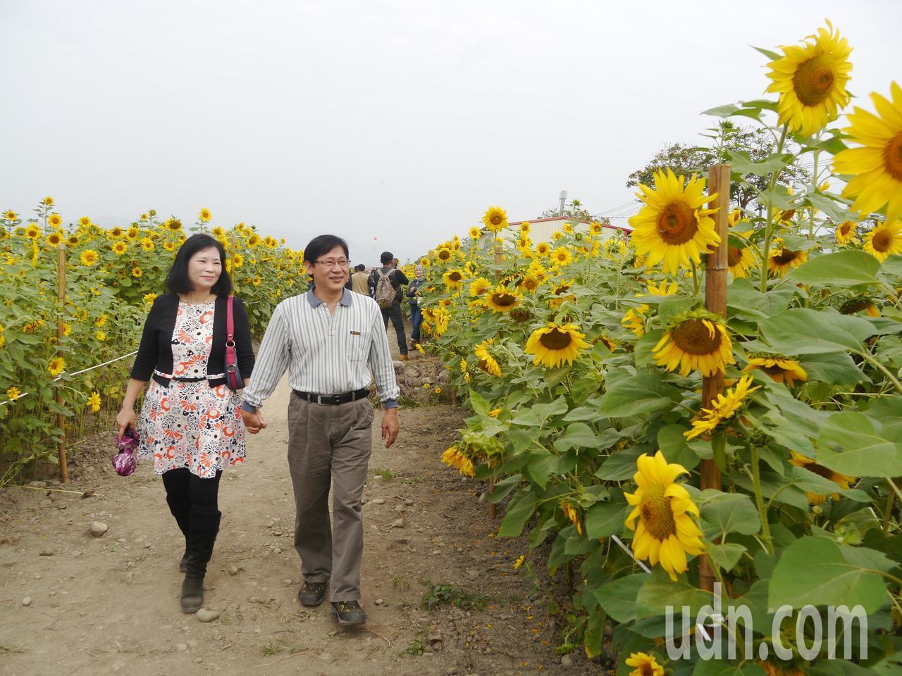 葵花迷宮占地3公頃,向日葵已全面盛開。記者徐白櫻/攝影