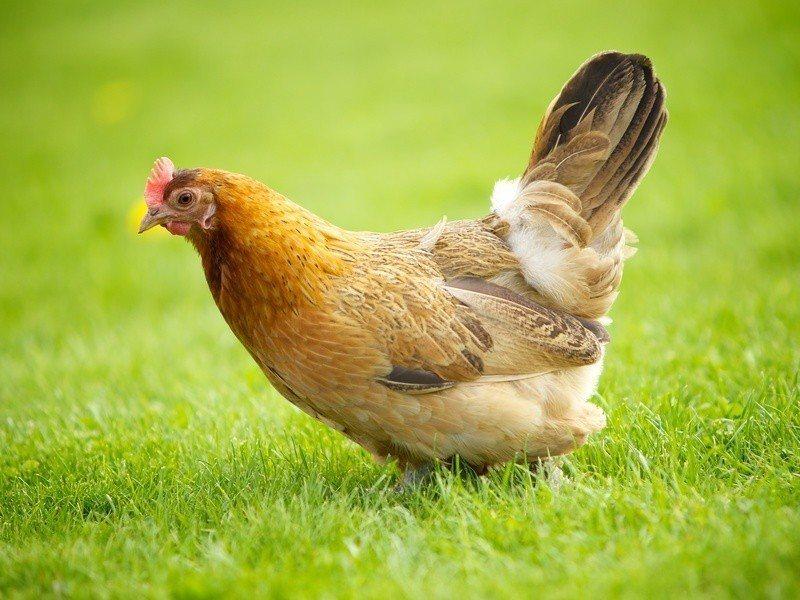 科學家將人體製造蛋白質的基因植入雞蛋蛋白的基因中,成功利用雞蛋大量產出人類蛋白質...