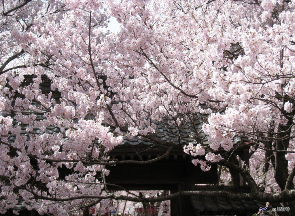 ▲日本櫻花百選推薦-高遠城址公園。(圖/©Akira Okada/©JNTO)