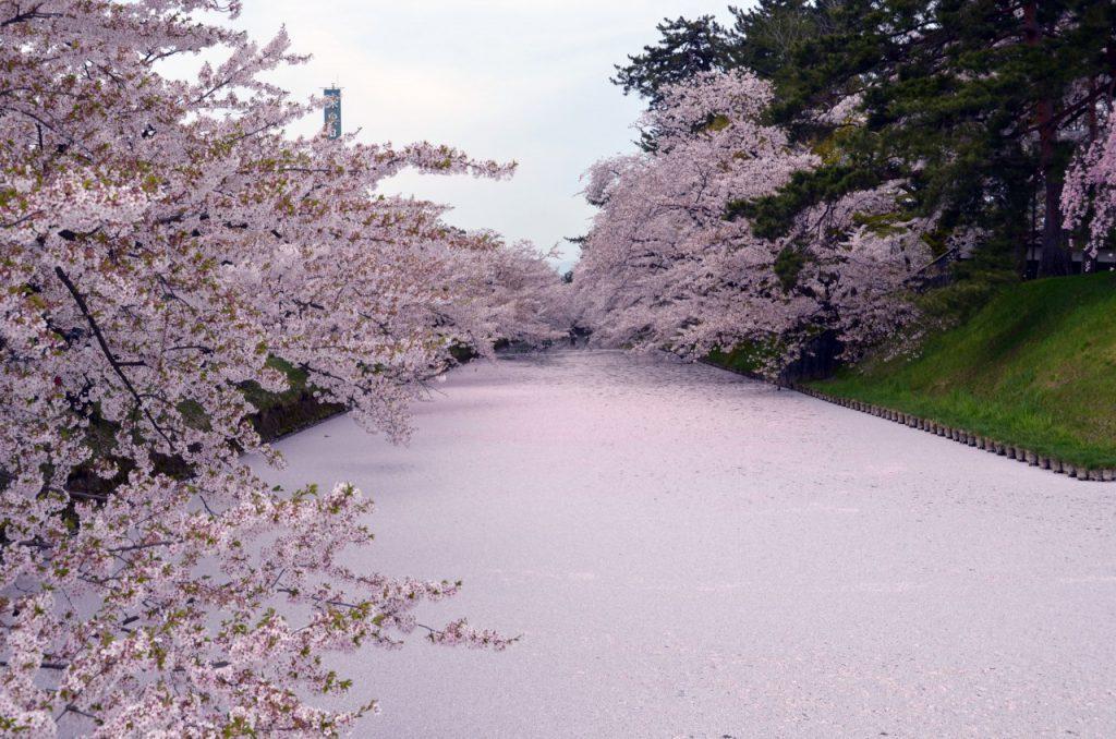 ▲日本櫻花百選推薦-青森弘前城。(圖/©Hirosaki city/©JNTO)