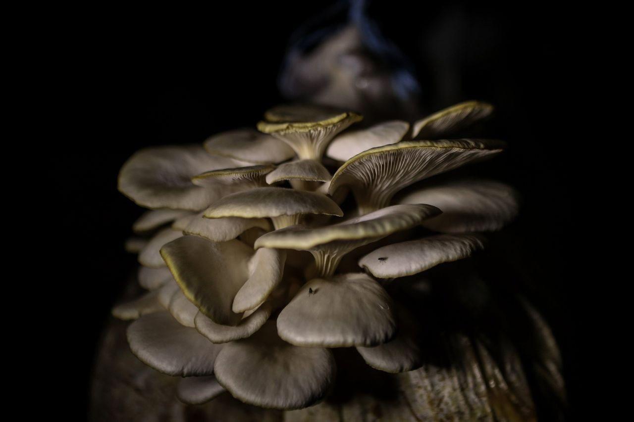 蘑菇可不是只可以拿來吃,未來也許有望取代塑膠。 (歐新社)