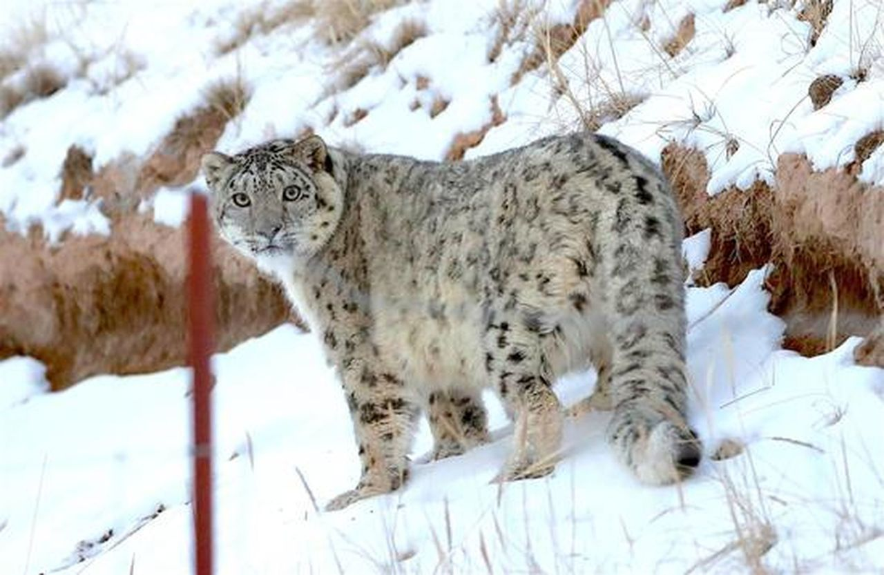 張掖祁連山境內現雪豹,與攝影師相距不足10米 世界日報記者廖斯文/攝影