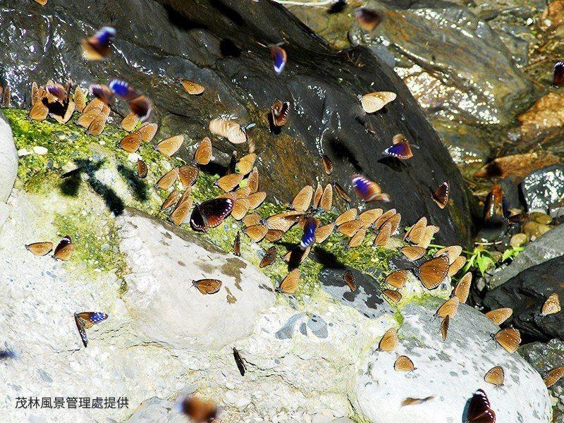 高雄茂林的紫斑蝶幽谷。圖/茂林國家風景區管理處提供