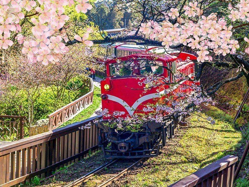 阿里山可搭乘小火車賞櫻。圖/易遊網提供
