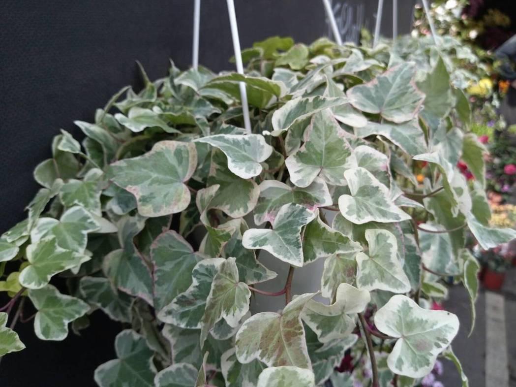 常春藤的生長適合台灣的濕度與溫度,也是居家盆栽常見的類型之一。記者陳雨鑫/攝影