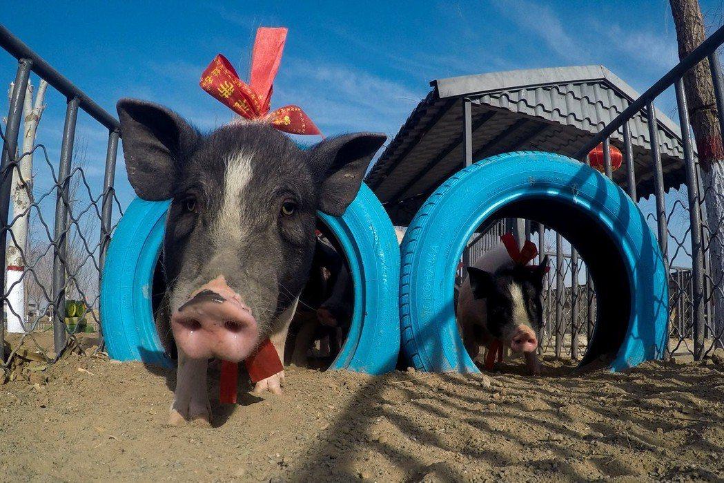 豬年行大運,不過非洲豬瘟的疫情真如中國所言的「安全無虞」? 圖/路透社